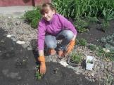 высаживаем рассаду