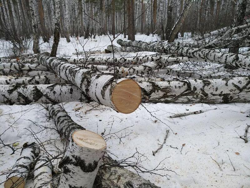 Nezakonnaya-zagotovka-lesa-presechena-v-EAO.jpg